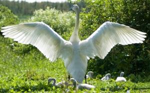 Trumpet Swan